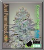 Auto Cosmic Bomb Cannabis Strain - Authorized Dealer